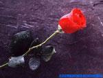 Cartolina d'amore: una rosa per te